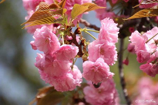 関山(かんざん)平成15年の「今年の花」/造幣局桜の通り抜け