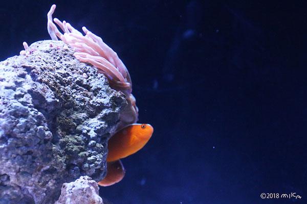 セジロクマノミ(京都水族館)