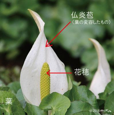 ミズバショウの仏炎苞と花穂