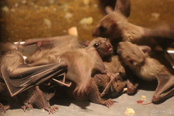 エジプトルーセットオオコウモリ(エサを食べたあと)天王寺動物園