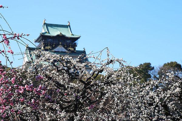 大阪城梅林(五分咲き)