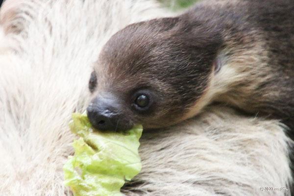 野菜を食べるナマケモノの赤ちゃん