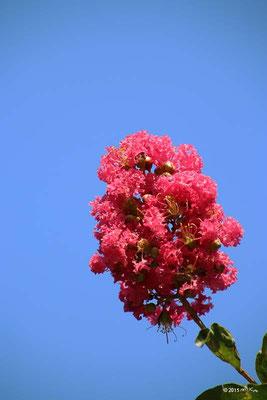 サルスベリ(濃いピンク)