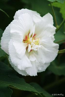 八重のスイフヨウ(朝10時/白い花)