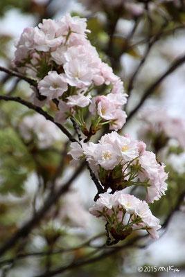 天の川(平成25年と4年の今年の花)