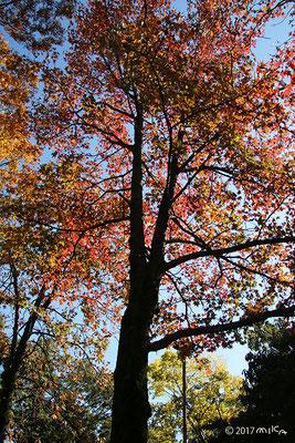 フウの木(タイワンフウ)秋