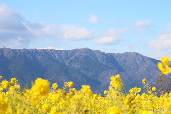 カンザキハナナと比叡山(第一なぎさ公園(滋賀県)2015年1月中旬頃