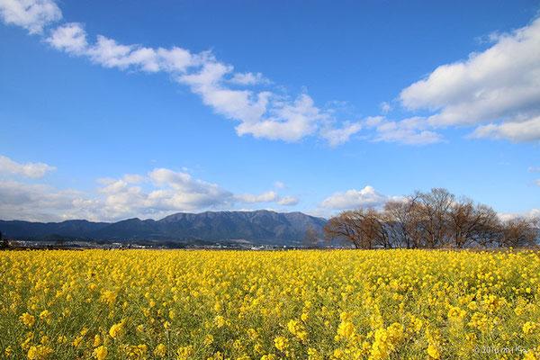 第一なぎさ公園のカンザキハナナの菜の花畑(滋賀県守山市)