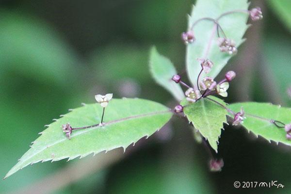 ヒマラヤハナイカダの雄花(おばな)花がたくさん咲いています