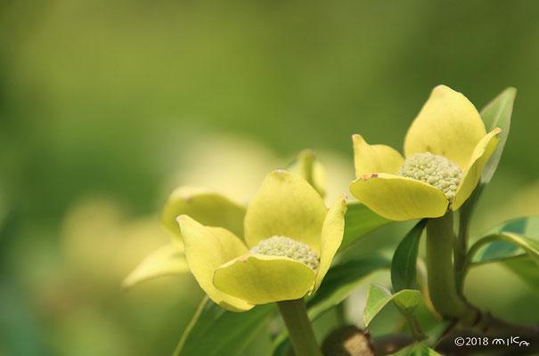 ヒマラヤヤマボウシ(咲きはじめ)
