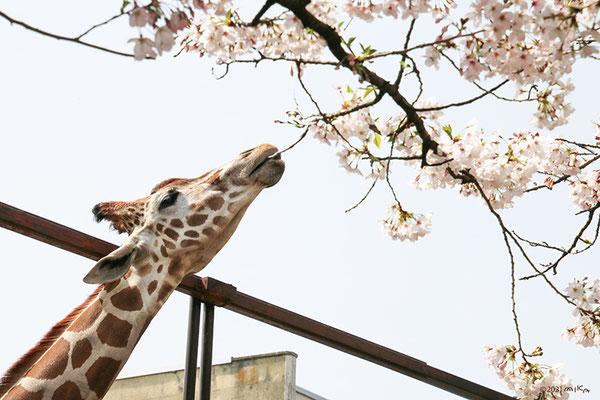 サクラに首を伸ばすキリン(神戸市立王子動物園)