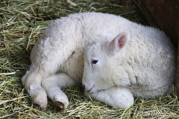 まどろむ子羊