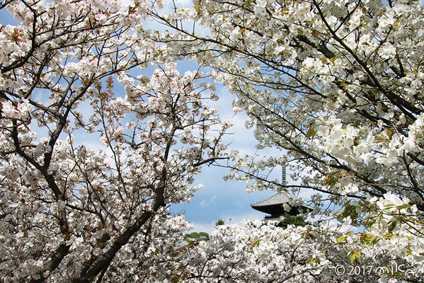 名勝 御室桜(仁和寺)
