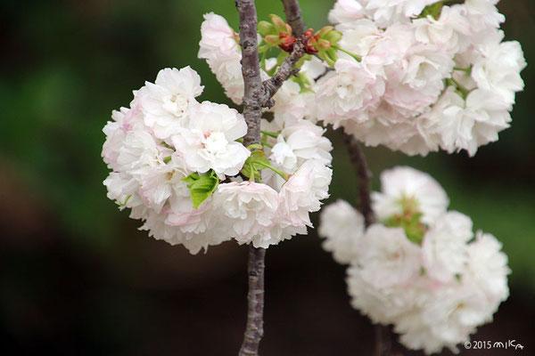 欄欄(らんらん)平成14年の「今年の花」/造幣局桜の通り抜け