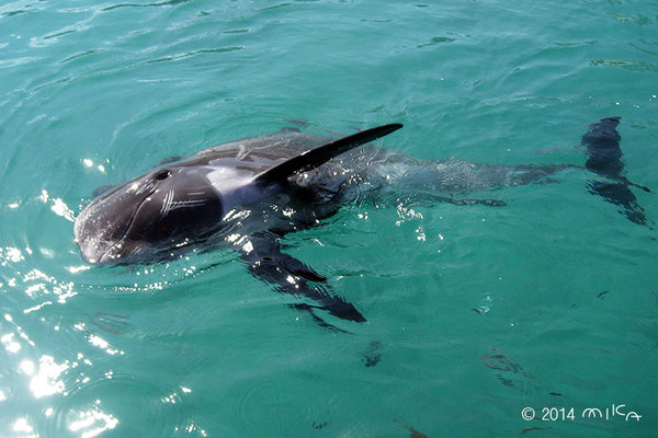 すいすい泳ぐゴンドウイルカ(ルネサンスリゾートオキナワのサザンくん)