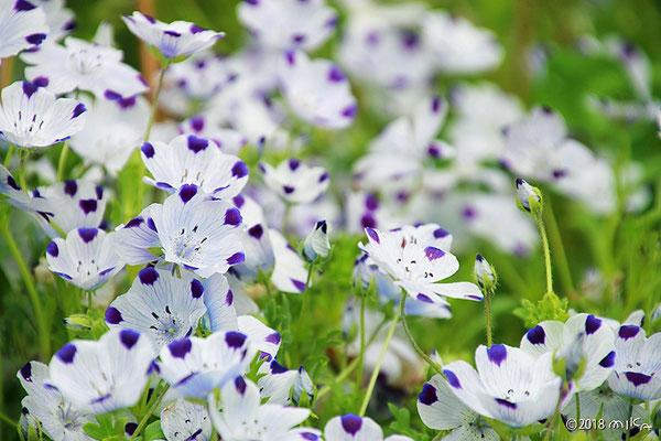 ネモフィラ・マキュラータの花畑