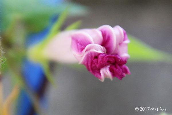 あさがおの 花がしぼんだところ(正面から)