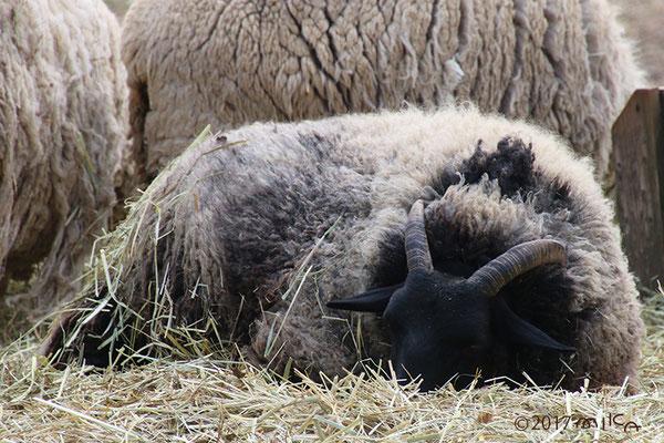ブラックウェルシュマウンテン(黒い羊)六甲山牧場
