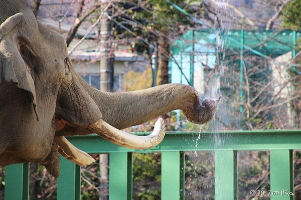 水を飲むアジアゾウ①(神戸市立王子動物園2017年)