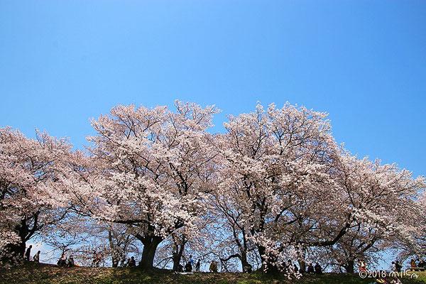 大きな桜の続く背割堤