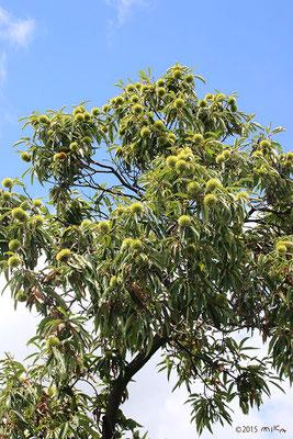 クリの木 豊作(9月上旬)