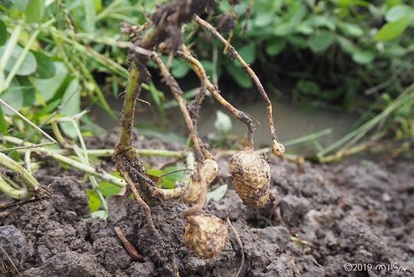 ラッカセイ 茎から根が出る