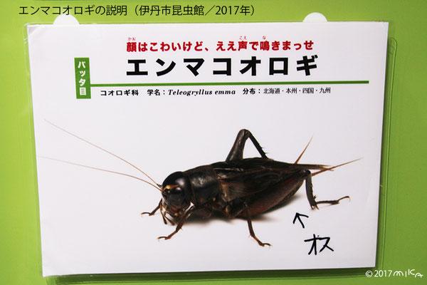 エンマコオロギのオス(伊丹市昆虫館)