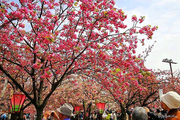 造幣局「桜の通り抜け」を楽しむ人々