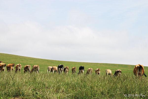牛たちのおしり(美瑛放牧酪農場)