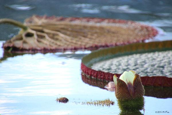 オニバスの花①