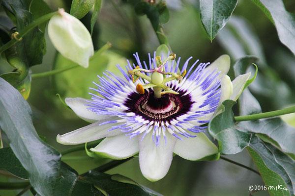 トケイソウの花