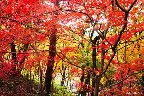 長谷池につながるもみじ坂(神戸市立森林植物園)