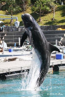 ゴンドウイルカのジャンプ(ルネサンスリゾートオキナワのサザンくん)