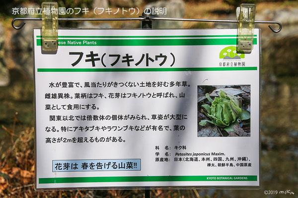 フキノトウの説明(京都府立植物園)2019年