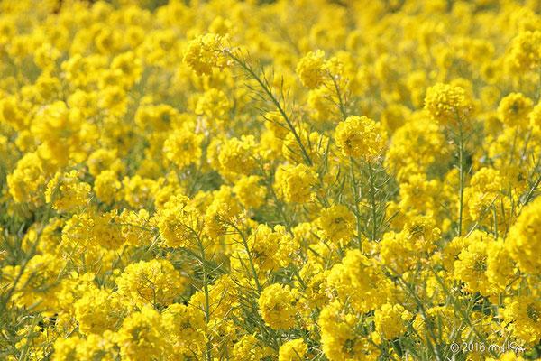 カンザキハナナの花畑