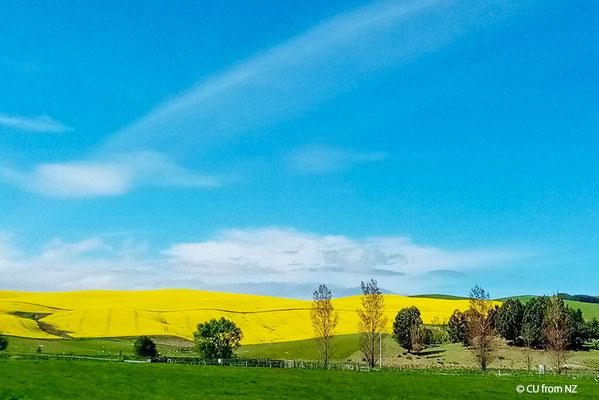 ニュージーランドの菜の花畑(ニュージーランド在住 CUさん写真提供)
