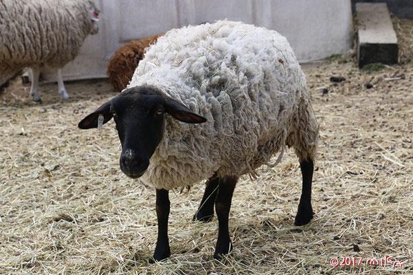サフォーク(顔と足が黒い)六甲山牧場