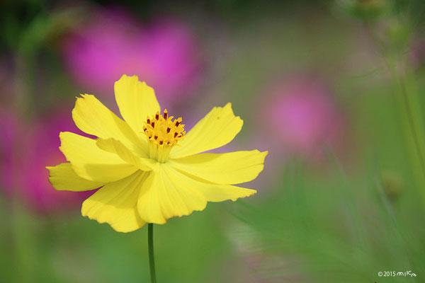 キバナコスモス(黄色)