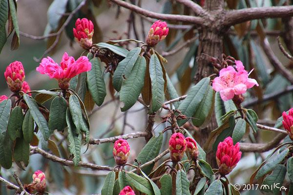 ヒマラヤのシャクナゲの木