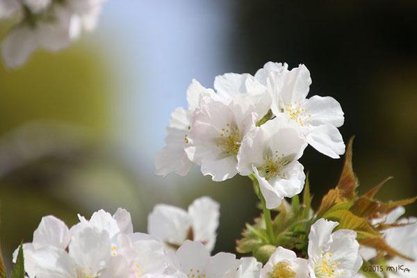 大島桜(おおしまざくら)