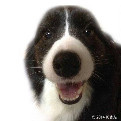 ボーダーコリー(母親犬)/京都府Kさん