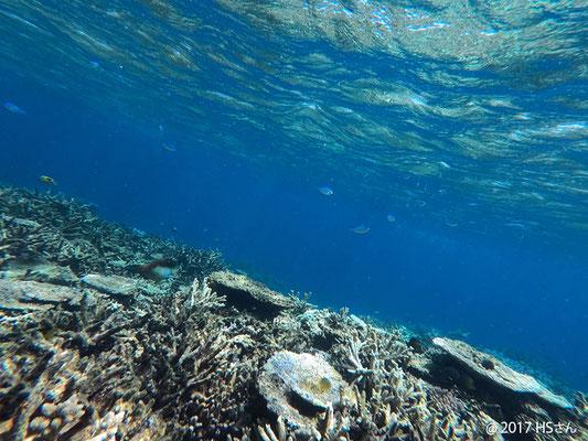 八重干瀬の珊瑚礁②(静岡県HSさん撮影)