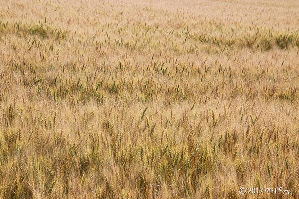 麦畑にそよ風(「麦の秋風」と呼ばれます)