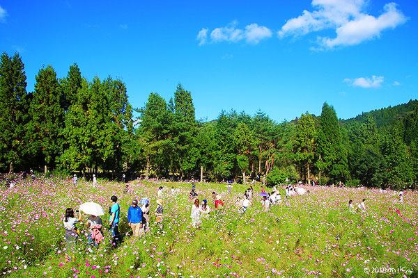 コスモス畑を散策する人々(とよのコスモスの里)