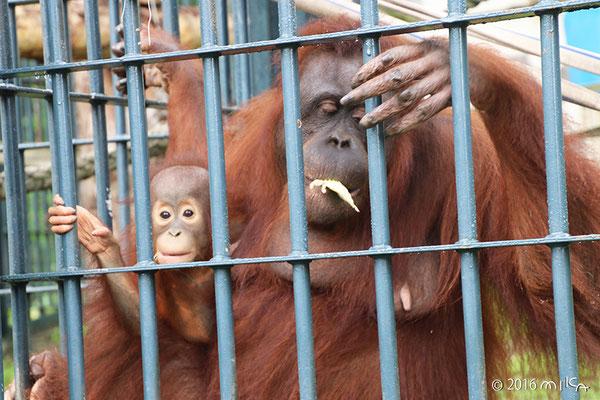 ボルネオオランウータンの母子「リアン」と「モカ」①(旭山動物園)