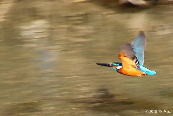 カワセミのオス(すばやい飛行)
