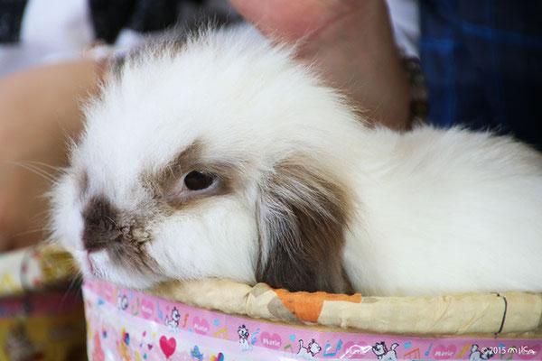 耳が垂れたウサギ(神戸市立王子動物園)