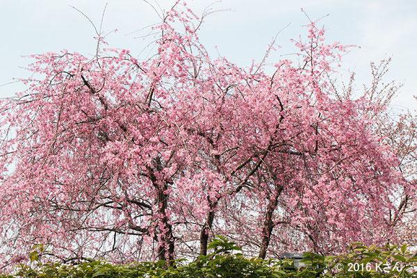 しだれ桜(高台寺付近)大阪府Kさん