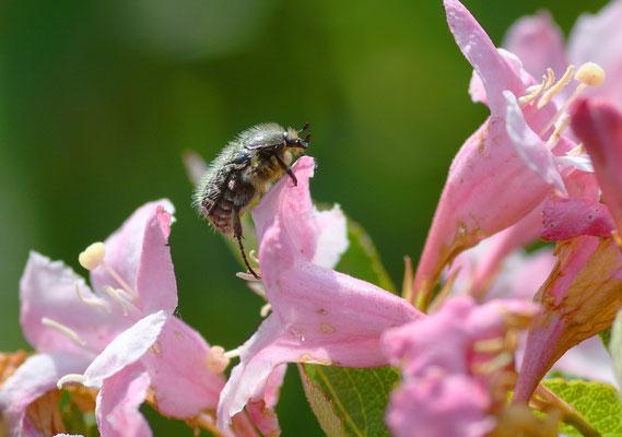 Am Weigelien-Busch auch zu finden: ein Trauer-Rosenkäfer. Foto: Sandra Borchers