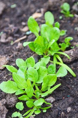 ...und der Spinat im Gewächshaus muß nur noch ein bißchen wachsen bis zur Ernte! Foto: Sandra Borchers